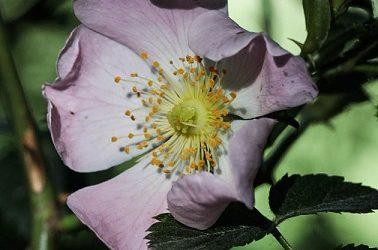 Rosa canina rosaceae