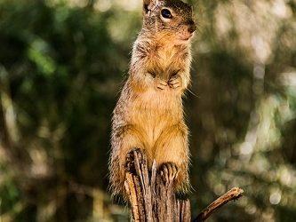 Sciurus griseus, scoiattolo grigio, Yosemite National Park, California