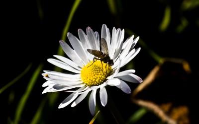 margherita insetto nettare