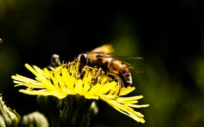 fiore ape nettare tarassaco