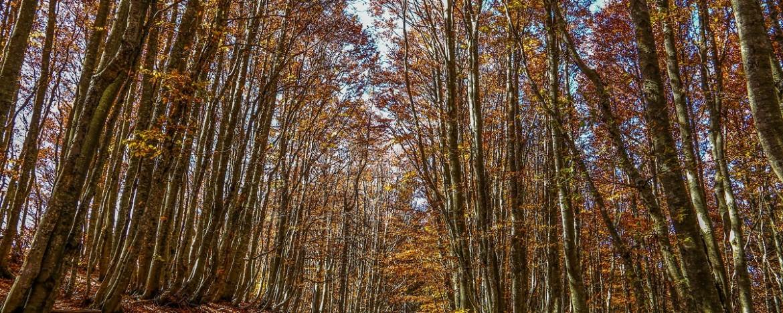 fall foliage faggeta